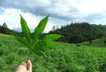 Quieren legalizar marihuana para ayudar  al a educación en Nueva York