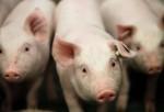 Saltan sobre 72 cerdos hasta matarlos