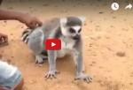 Lemur Se Vuelve Famoso Por Pedir A Niños Sigan Rascando Su Espalda