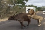 Leones Cazan A Búfalo En Safari
