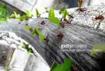 Hormigas mutante